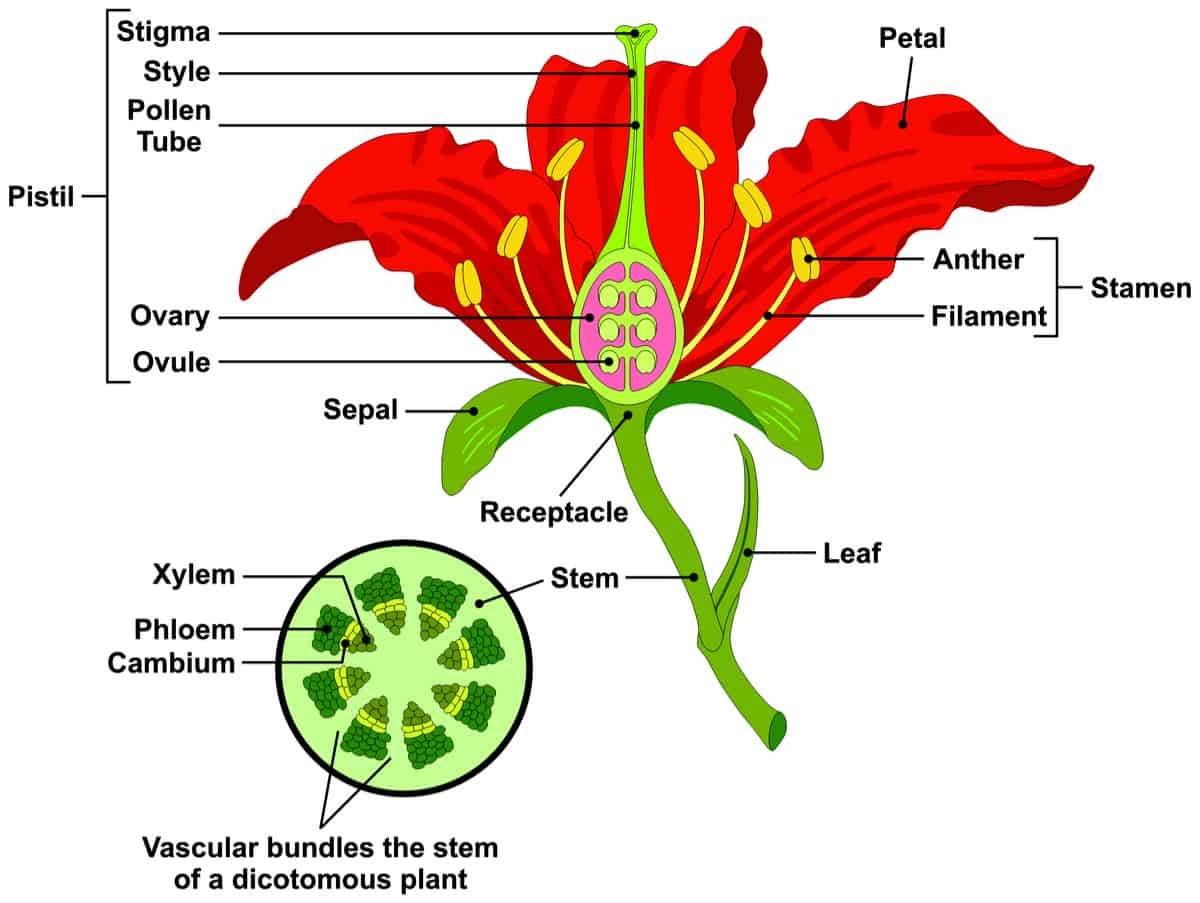 Excellent Parts Of A Flower And Plant Do You Know Them All 7 Diagrams Mandiz Mohammedshrine Wiring Diagrams Mandizmohammedshrineorg